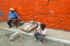 Pigs for sale on the street of Panajachel. (brendatharp) Tags: guatemala streetscene antigua people cultural destination boy streetlife culture man traveldestination latin travel adventure pigs centralamerica panajachel male