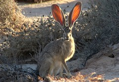 Desert critter (thomasgorman1) Tags: rabbit jackrabbit critter animal looking nature portrait outdoors hiking desert baja canon mexico ears listening