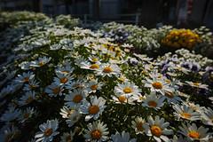 DP0Q4773lr (yoshitoshi ABe) Tags: 20190505 dp0quattro sigma flower