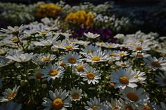 DP0Q4772lr (yoshitoshi ABe) Tags: 20190505 dp0quattro sigma flower