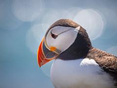 farne islands, 2019 (piglicker) Tags: farneislands greatbritain northumberland olympuse5 seabirds uk wildlife puffin