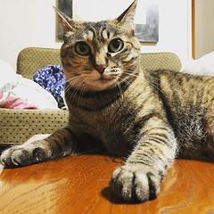 てーぶるのうえねこ #ねこ #猫 #cat #gatto #chat #kitten (quecava) Tags: ifttt instagram