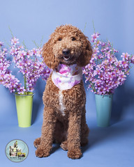 Pet Valu Barrie (SpringTrippReilly-Life's Elements Photography-Durh) Tags: ©springreilly durhamregionpetphotography durham region pet photography valu studio portable flowers dog doodle brown