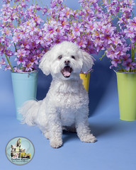 Pet Valu Barrie (SpringTrippReilly-Life's Elements Photography-Durh) Tags: ©springreilly durhamregionpetphotography durham region pet photography valu studio portable flowers dog white