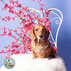 Pet Valu Barrie (SpringTrippReilly-Life's Elements Photography-Durh) Tags: ©springreilly durhamregionpetphotography durham region pet photography valu studio portable flowers dog brown