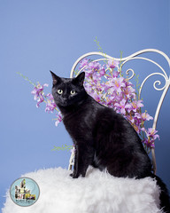 Pet Valu Barrie (SpringTrippReilly-Life's Elements Photography-Durh) Tags: ©springreilly durhamregionpetphotography durham region pet photography valu studio portable flowers cat black