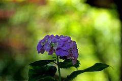 Hydrangea (tez-guitar) Tags: hydrangea flower bloom blossom summer green machida 町田 machida macro tamron pentax