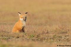 Red Fox Kit (Vulpes vulpes) (bcbirdergirl) Tags: redfox redfoxkit kit vulpesvulpes foxes fox ilovefoxes