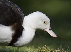 IMG_3845 (San Diego Shooter) Tags: zoo zoos animal animals sandiegozoo bokeh sdzoosafaripark bird birds