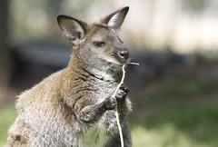Wallaby (San Diego Shooter) Tags: zoo zoos animal animals sandiegozoo bokeh sdzoosafaripark