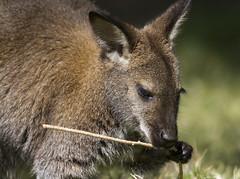 Wallaby with stick (San Diego Shooter) Tags: zoo zoos animal animals sandiegozoo bokeh sdzoosafaripark