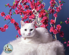 Pet Valu Barrie (SpringTrippReilly-Life's Elements Photography-Durh) Tags: ©springreilly durhamregionpetphotography durham region pet photography valu studio portable flowers cat white