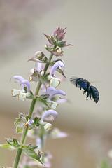 (Explored!) Salvia sclarea and a little buzzer.. (Xylucopa violacea) / Muskotályzsálya és egy kis zümmögő.. (Kék fadongó) (Ibolya Mester) Tags:
