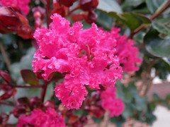 Pink Crepe Myrtle. (dccradio) Tags: lumberton nc northcarolina robesoncounty outdoor outdoors outside nature natural pink flower floral flowers leaf leaves foliage plant crepemyrtle crapemyrtle tree flowering bloom blossom blossoms blossoming blooming june summer summertime monday mondayevening evening goodevening canon powershot elph 520hs