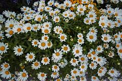 DP0Q4794lr (yoshitoshi ABe) Tags: 20190505 dp0quattro sigma flower