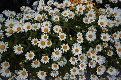 DP0Q4795lr (yoshitoshi ABe) Tags: 20190505 dp0quattro sigma flower