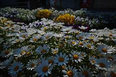 DP0Q4771lr (yoshitoshi ABe) Tags: 20190505 dp0quattro sigma flower