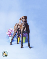 Pet Valu Barrie (SpringTrippReilly-Life's Elements Photography-Durh) Tags: ©springreilly durhamregionpetphotography durham region pet photography valu studio portable flowers dog great dane brown