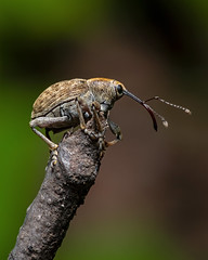 Weevil (J-F No) Tags: weevil insects insectes bugs animal nature macro fauna closeup pentax 100mm k1