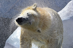 (marussia1205) Tags: полярный медведь брызги
