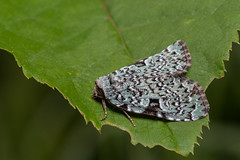 Green Leuconycta (J-F No) Tags: green leuconycta moth butterfly insects insectes bugs animal fauna nature macro pentax k1 100mm
