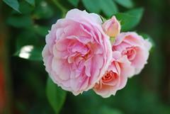 Du großer Gott von Ewigkeit (amras_de) Tags: rose rosen ruža rosa ruže rozo roos arrosa ruusut rós rózsa rože rozes rozen roser róza trandafir vrtnica rossläktet gül blüte blume flor cvijet kvet blomst flower floro õis lore kukka fleur bláth virág blóm fiore flos žiedas zieds bloem blome kwiat floare ciuri flouer cvet blomma çiçek