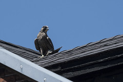(The Transit Photographer) Tags: birds raptors falcons peregrinefalcons wildperegrinefalcons thehappycouple fredandwilma juvenile fledglings breakfast kingston