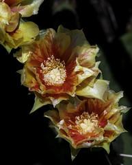 PricklyPearCactus_SAF3643-2 (sara97) Tags: eastern prickly pearopuntiahumifusa opuntia cacti cactus copyright©2019saraannefinke missouri photobysaraannefinke pricklypear saintlouis succulent