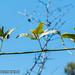 2012-02-24 TEC (Lopez & Teul)- 087 Pachyrhizus cf. ferrugineus - E.P. Mallory