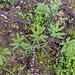 2011-07-20 TEC-3323 Pachyrhizus cf. ferrugineus - E.P. Mallory