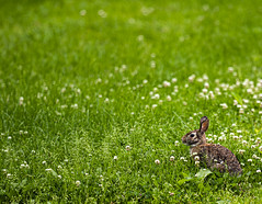 Bunny_1 (Rick Vestuto) Tags: sony a7riii 135mm f18 gm