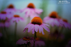 Rising up to meet the day (Hi-Fi Fotos) Tags: pink flowers petals fuzzy daisies nature garden outdoors morning plant life bloom nikkor 50mm nikon d7200 dx hififotos hallewell