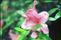 (✞bens▲n) Tags: pentax lx kodak ektar 100 carl zeiss 35mm f24 flektogon film analogue flower