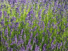Day 580 | Purple & Green (JL2.8) Tags: boise idaho unitedstatesofamerica lavender garden green growing plant day580 canon 6dmk2 project365 365 photochallenge