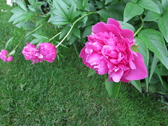 Peonies (creed_400) Tags: grand rapids west michigan june spring peonies flowers