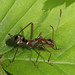 Ant-mimic Plant Bug, Occoquan Bay National Wildlife Refuge, Woodbridge, Virginia