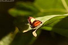 6839 (laba laba) Tags: africa gabon ndjole rainforest nature macro closeup insect butterfly hypomyrina mimetica hypomyrinamimetica