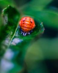 ladybug pupa, portrait (tuvidaloca) Tags: projectionlens fotografíasexperimentales dof lentedeproyección vistadecerca projektionsobjektiv estudio experimentalphotography desenfoque desenfoqueparcial nahaufnahme studie bokehextreme study closeup bokeh primerplano makro macro experimentellephotographie ladybugpupa marienkäferpuppe