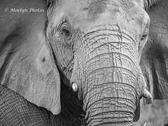 Elephant Head Shot Up Close (moelynphotos) Tags: elephant africanelephant headshot blackandwhite closeup animalwildlife animalsinthewild safari safarianimals nature feeding bush africa southafrica limpopoprovince welgevondenprivategamereserve nopeople moelynphotos