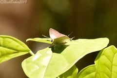 6849 (laba laba) Tags: africa gabon ndjole rainforest nature macro closeup insect butterfly deudorix antalus deudorixantalus