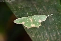 6800 (laba laba) Tags: africa gabon ndjole rainforest nature macro closeup insect moth