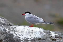 Kalatiira - Common Tern - Sterna hirundo 534 (Hannu Tervonen) Tags: 2019 linnut birds kalatiira commontern
