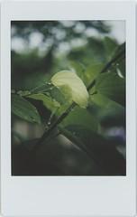 a long rainy season (breeze.kaze) Tags: instant film fujiinstaxminifilm tlrcamera mintinstantflextl70 morning rain bauhinia tree new leaves halftransparent