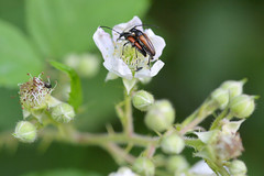 Käfer (German Circle) Tags: käfer bug beetle insekten insekt insects insect tiere animals macro makro