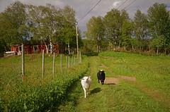""" wait for us "" ...... (KvikneFoto) Tags: lam lamb sau sheep tamron nikon sommer summer"