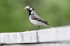 Västäräkki - Pied Wagtail - Motacilla alba 529 (Hannu Tervonen) Tags: 2019 linnut birds västäräkki piedwagtail