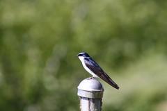 Tree Swallow (Tachycineta bicolor) (Camden S. Bruner) Tags: lincolncounty or oregon brianbooth statepark beavercreeknaturalarea treeswallow tachycinetabicolor swallow