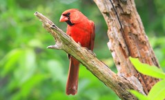 northern cardinal male at Cardinal Marsh IA 653A1058 (naturalist@winneshiekwild.com) Tags: northern cardinal male marsh winneshiek county iowa larry reis