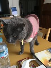 Argent on the Table 2 (sjrankin) Tags: 17june2019 edited kitahiroshima hokkaido japan animal cat closeup argent tunic livingroom table blurry