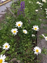 Windy Day, Animated (sjrankin) Tags: 17june2019 edited kitahiroshima hokkaido japan gif animatedgif wind garden flower daisy windy closeup plant weeds
